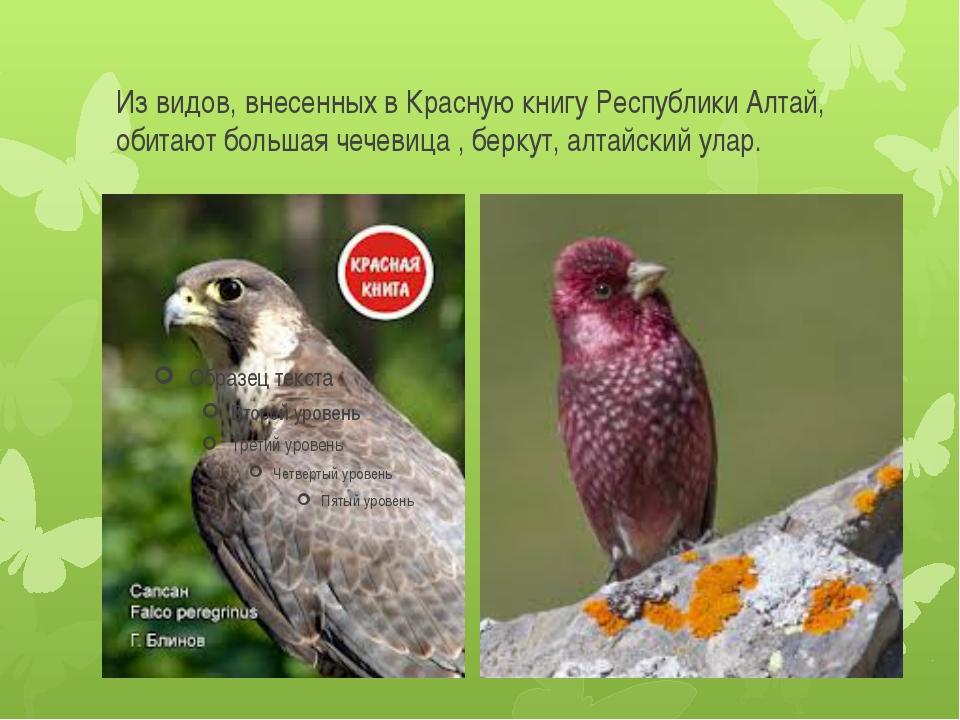 Из видов, внесенных в Красную книгу Республики Алтай, обитают большая чечевиц...