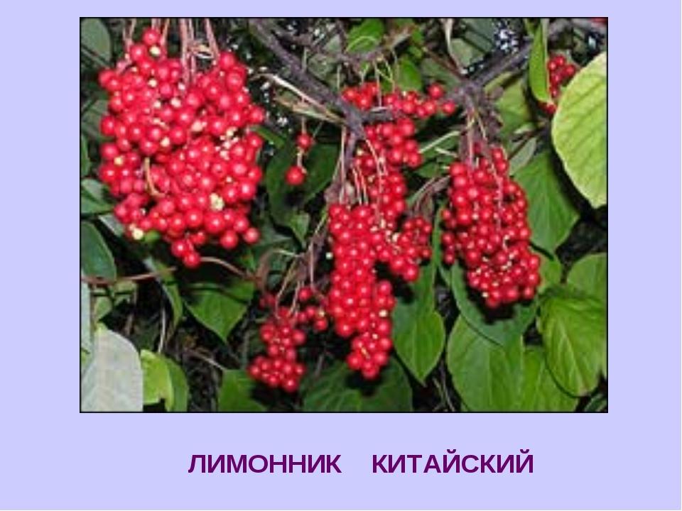 ЛИМОННИК КИТАЙСКИЙ