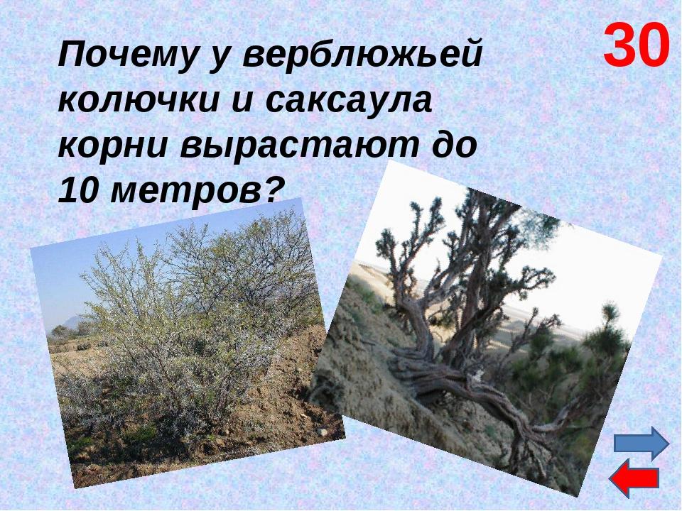 Почему у верблюжьей колючки и саксаула корни вырастают до 10 метров? 30