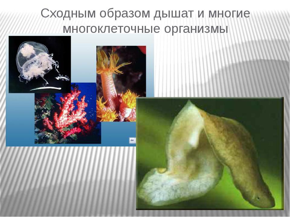Сходным образом дышат и многие многоклеточные организмы