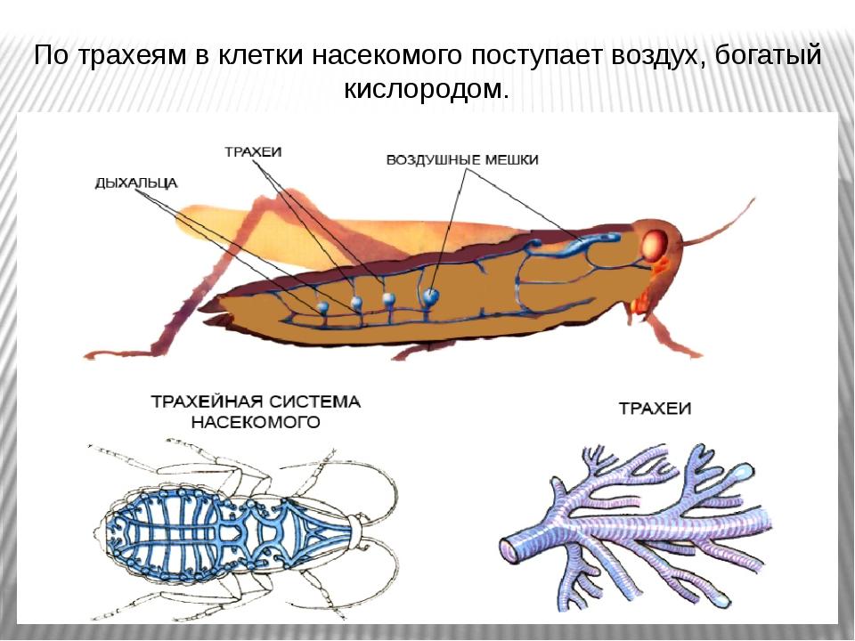 По трахеям в клетки насекомого поступает воздух, богатый кислородом.