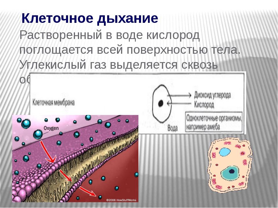 Клеточное дыхание Растворенный в воде кислород поглощается всей поверхностью...