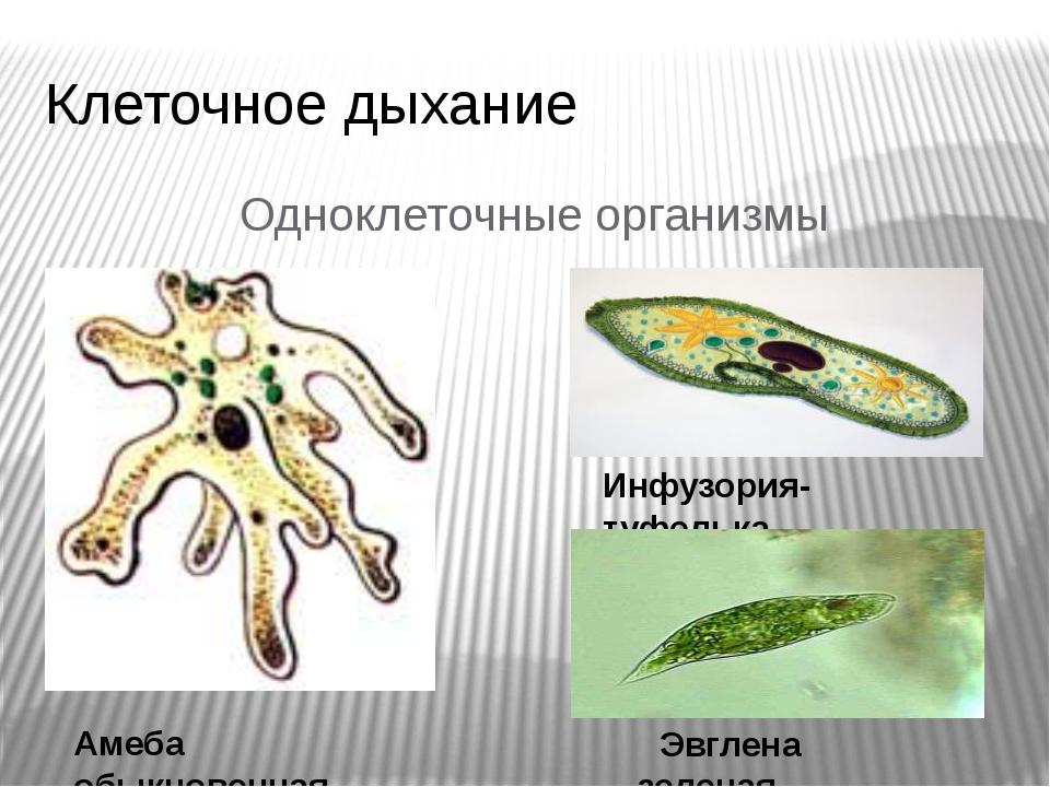 Клеточное дыхание Одноклеточные организмы Амеба обыкновенная Инфузория-туфель...