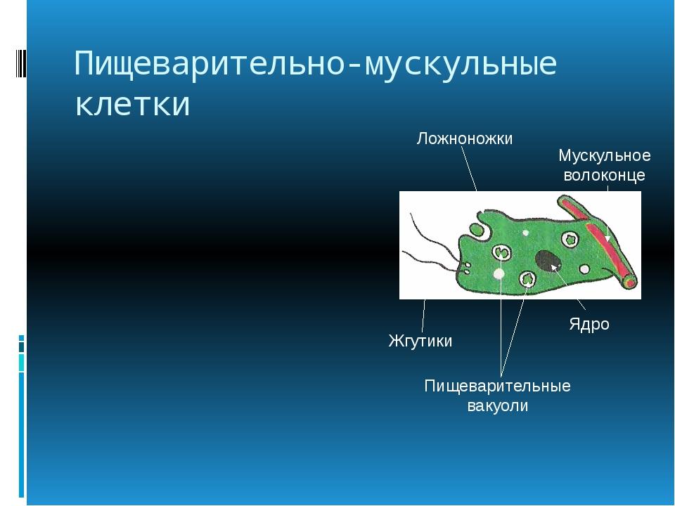 Пищеварительно-мускульные клетки Жгутики Ложноножки Пищеварительные вакуоли М...