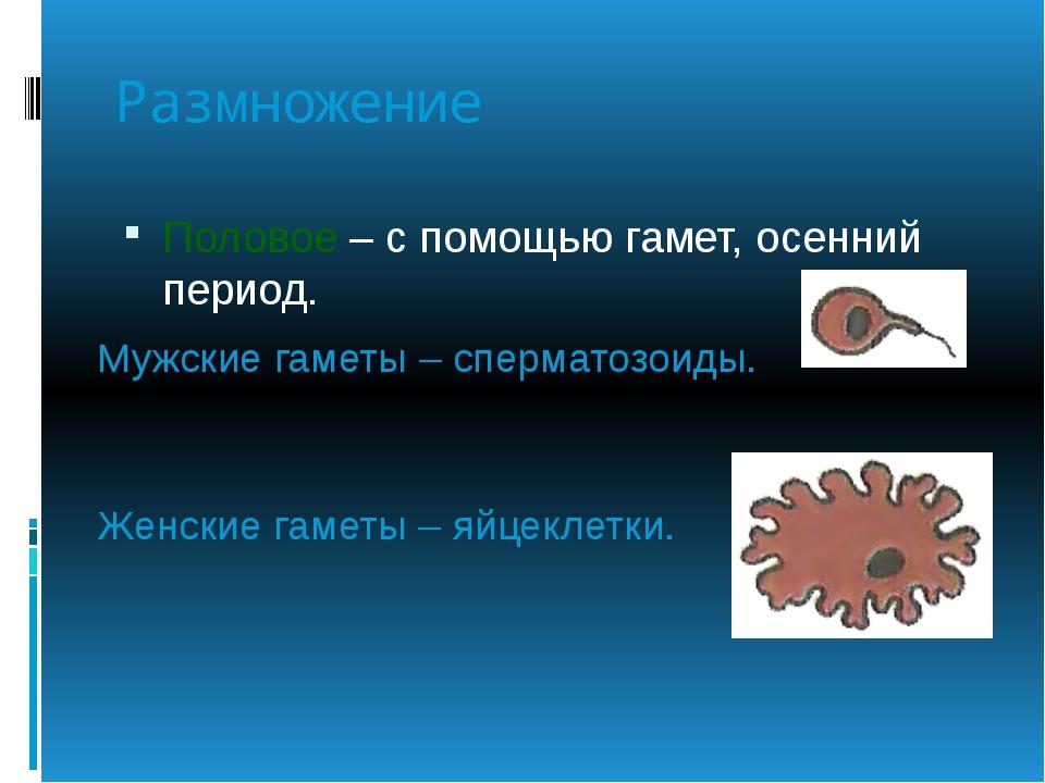 Размножение Половое – с помощью гамет, осенний период. Мужские гаметы – сперм...