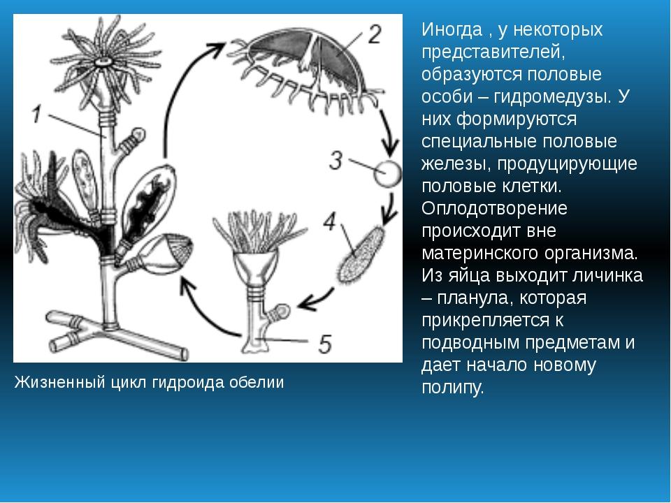 Жизненный цикл гидроида обелии Иногда , у некоторых представителей, образуютс...
