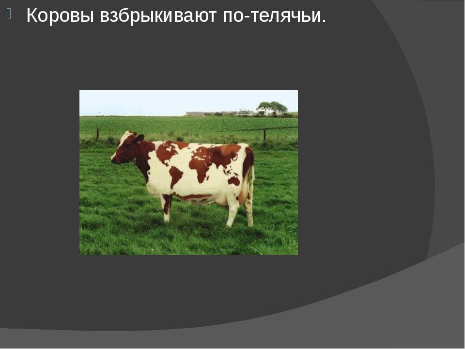 Коровы взбрыкивают по-телячьи.