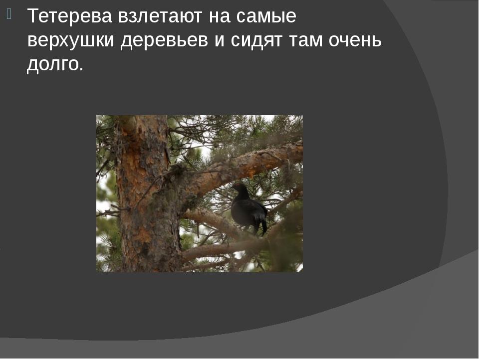 Тетерева взлетают на самые верхушки деревьев и сидят там очень долго.