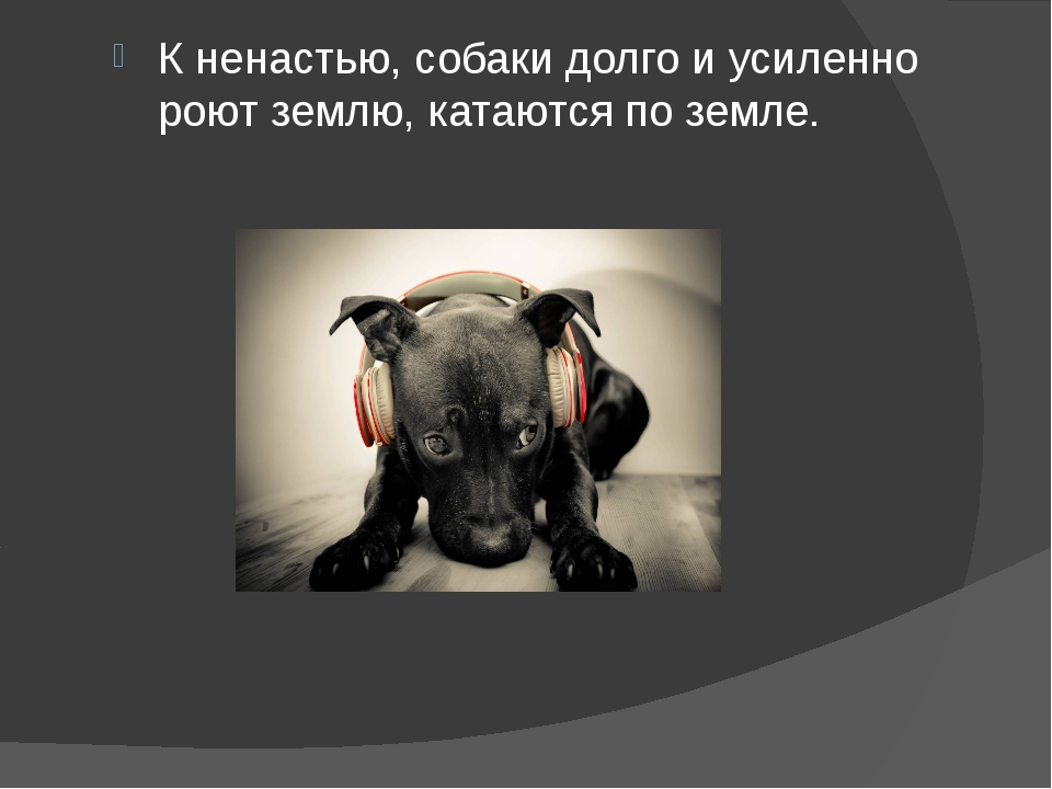 К ненастью, собаки долго и усиленно роют землю, катаются по земле.