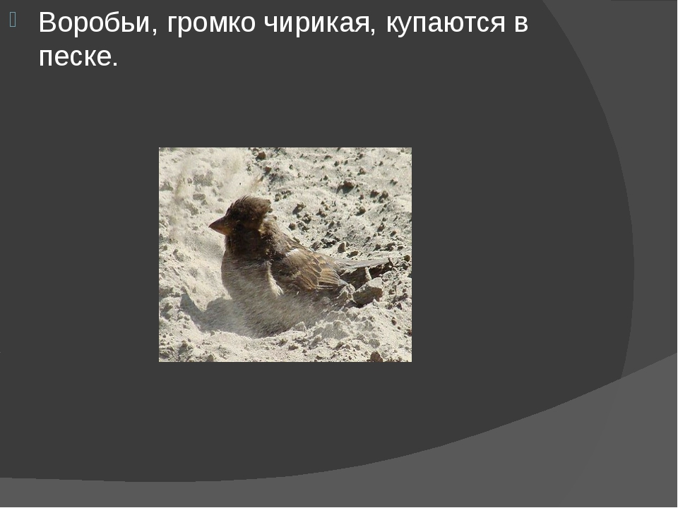 Воробьи, громко чирикая, купаются в песке.