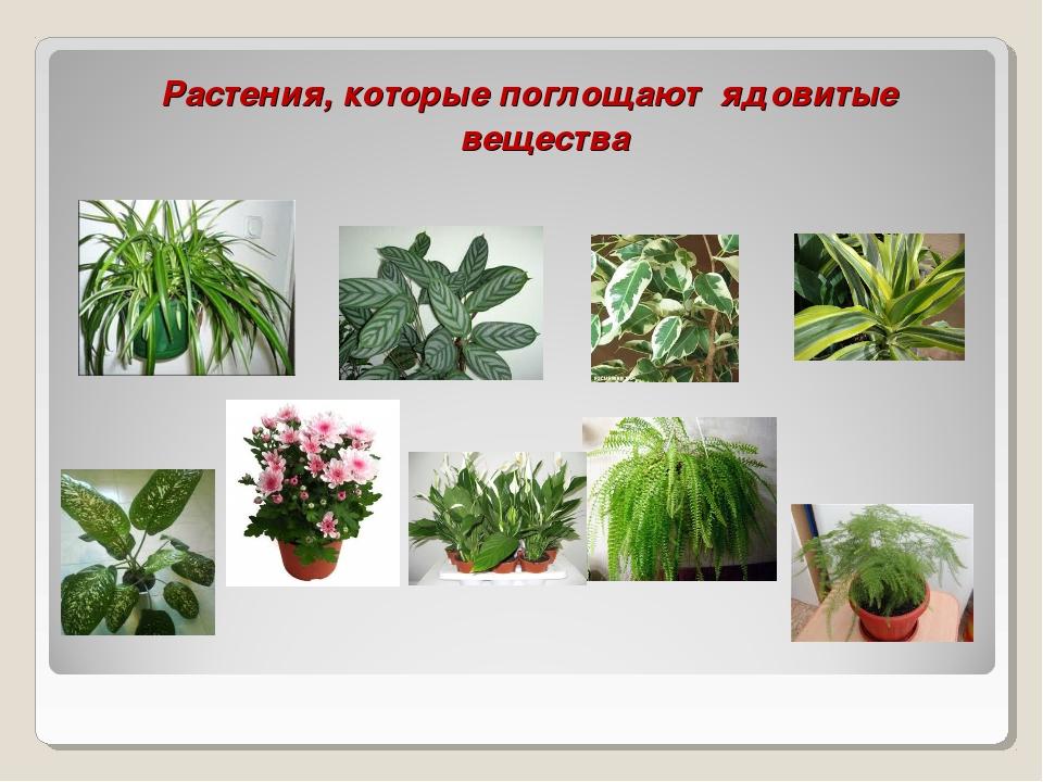Растения, которые поглощают ядовитые вещества