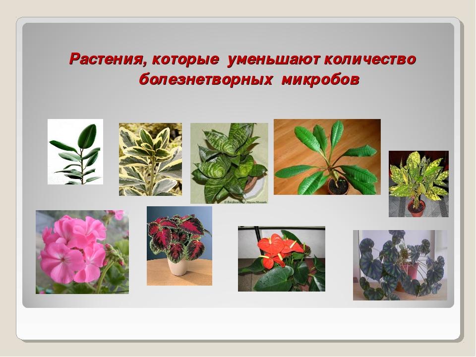 Растения, которые уменьшают количество болезнетворных микробов