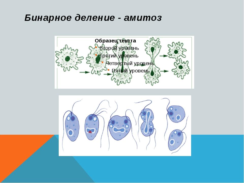 Бинарное деление - амитоз