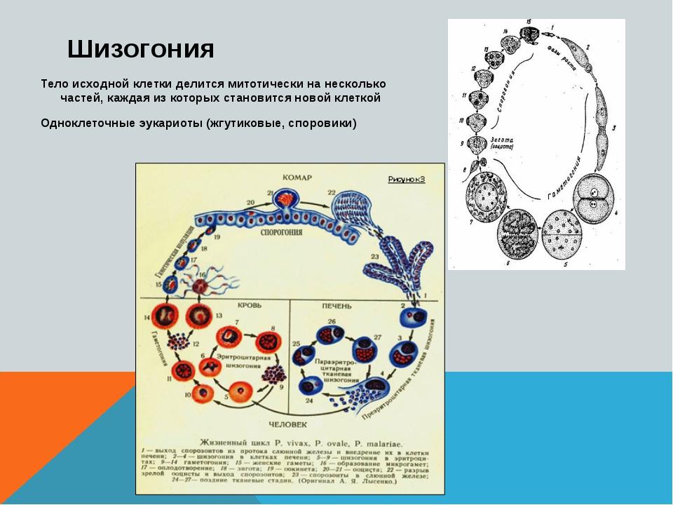 Шизогония Тело исходной клетки делится митотически на несколько частей, кажда...