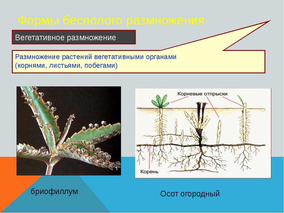 Формы бесполого размножения Размножение растений вегетативными органами (корн...