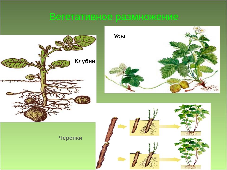 уклубниккккк Вегетативное размножение Клубни Черенки Усы