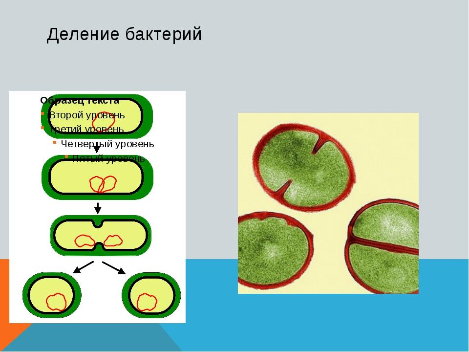 Деление бактерий