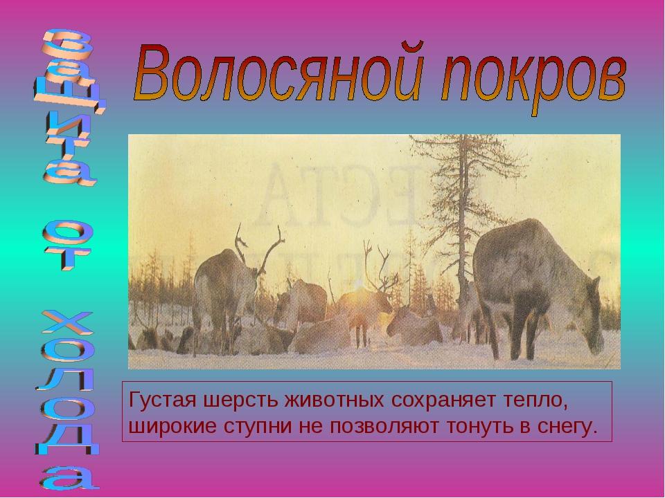 Густая шерсть животных сохраняет тепло, широкие ступни не позволяют тонуть в...