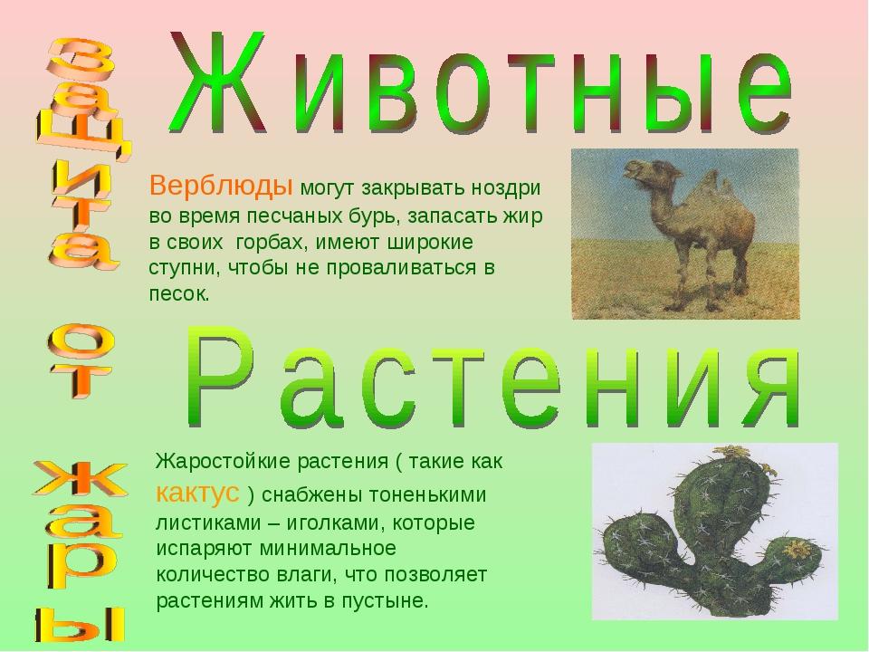 Верблюды могут закрывать ноздри во время песчаных бурь, запасать жир в своих...