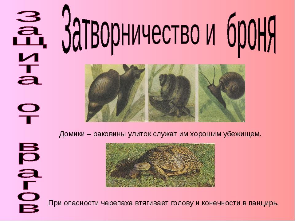 Домики – раковины улиток служат им хорошим убежищем. При опасности черепаха в...