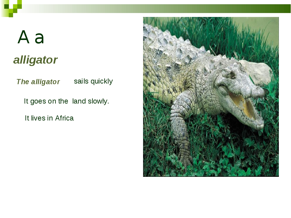 A a alligator The alligator sails quickly It goes on the land slowly. It live