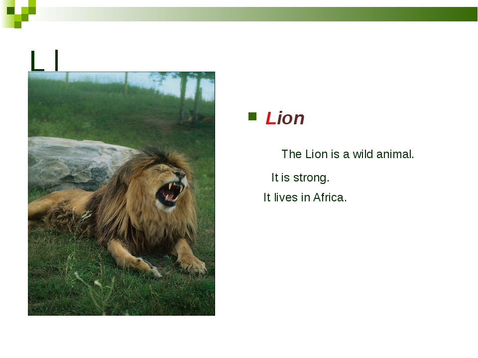 L l Lion The Lion is a wild animal. It is strong. It lives in Africa.