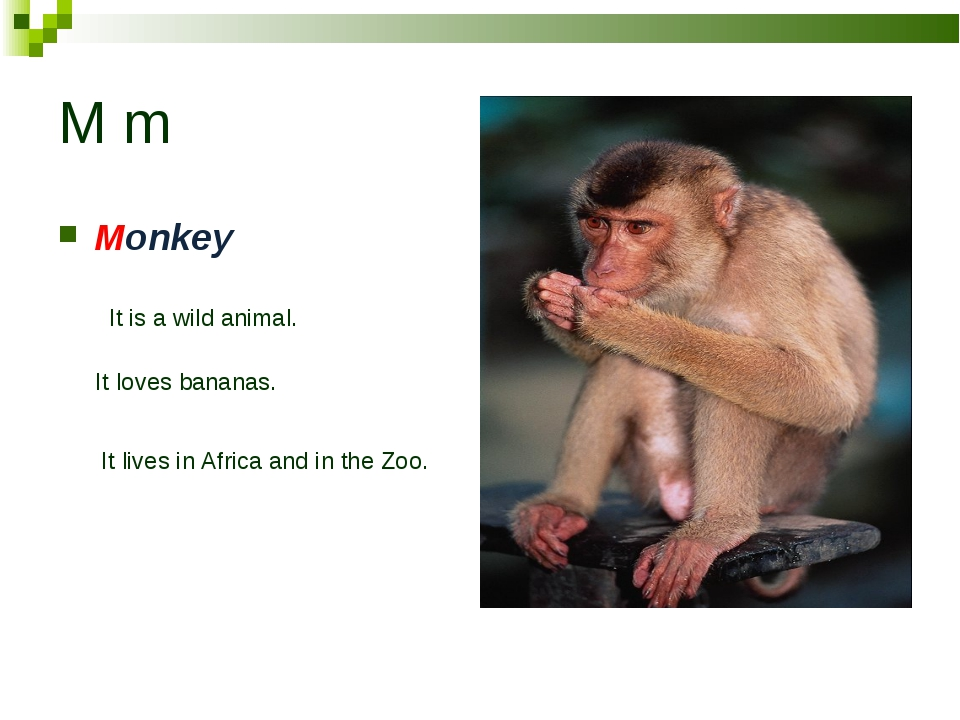 M m Monkey It is a wild animal. It loves bananas. It lives in Africa and in t