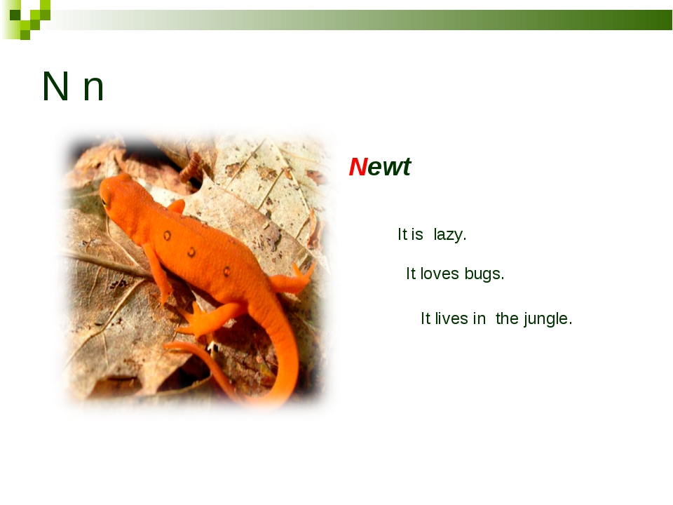 N n Newt It is lazy. It loves bugs. It lives in the jungle.