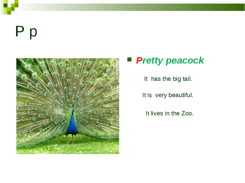 P p Pretty peacock It has the big tail. It is very beautiful. It lives in the...