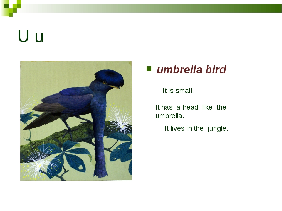 U u umbrella bird It is small. It has a head like the umbrella. It lives in t...