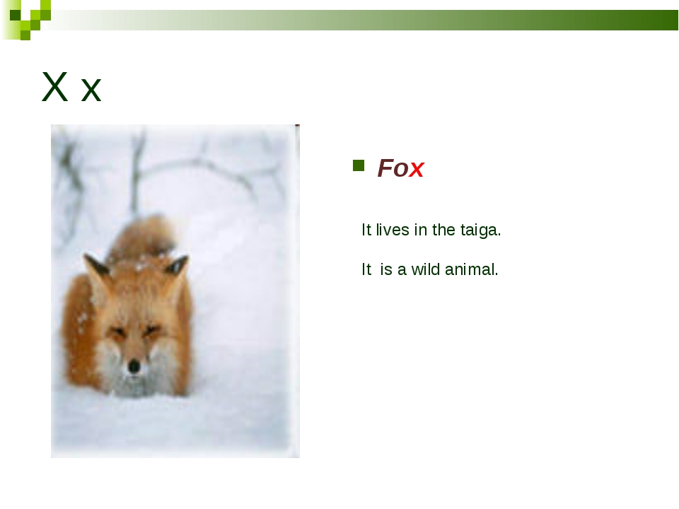 X x Fox It lives in the taiga. It is a wild animal.