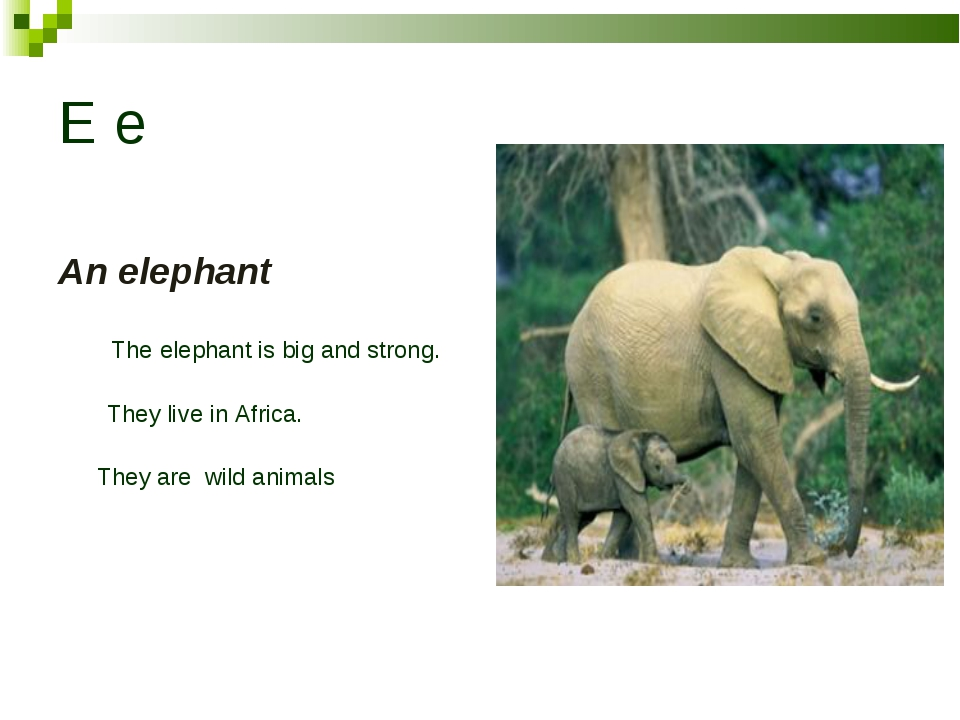 E e An elephant The elephant is big and strong. They live in Africa. They are