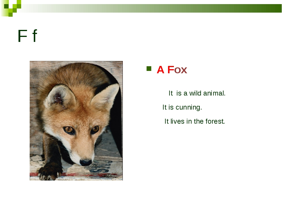 F f A Fox It is a wild animal. It is cunning. It lives in the forest.