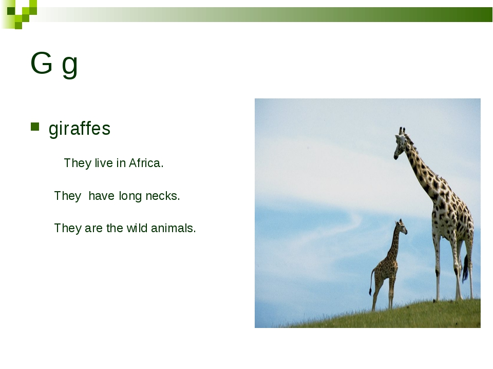 G g giraffes They live in Africa. They have long necks. They are the wild ani