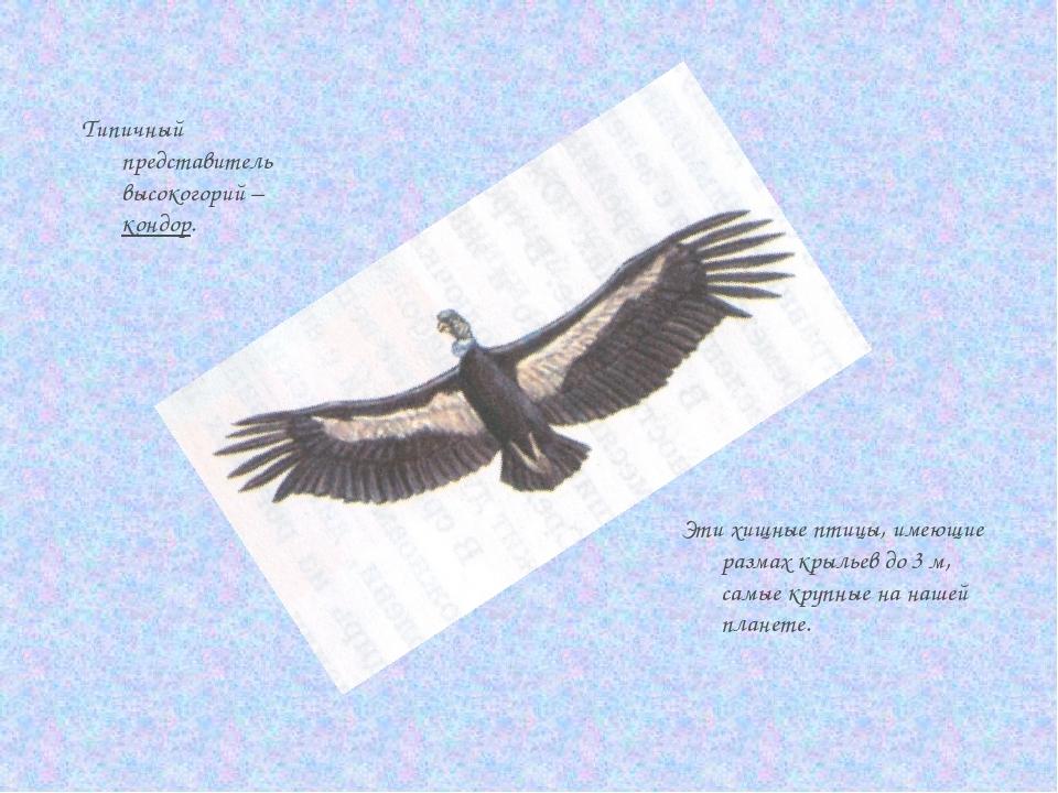 Типичный представитель высокогорий – кондор. Эти хищные птицы, имеющие размах...