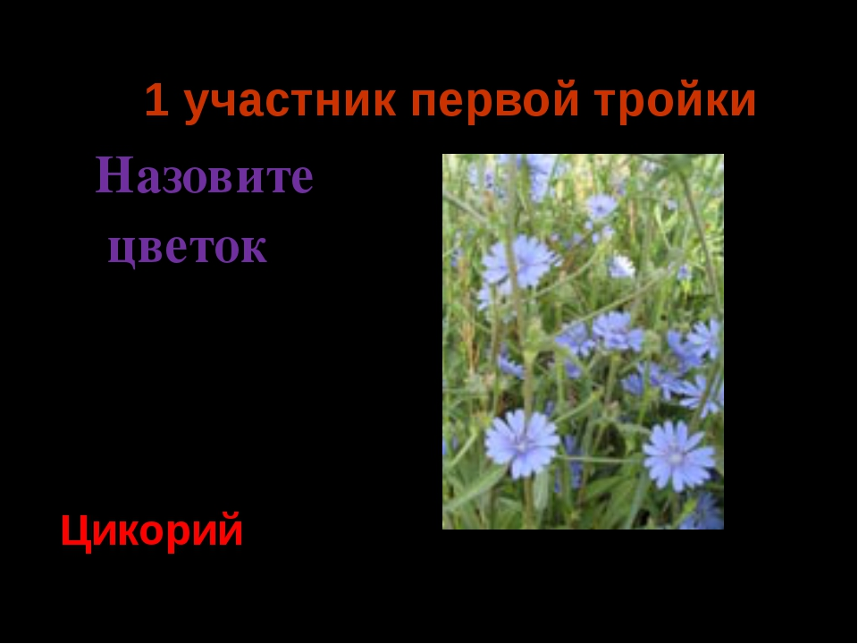 1 участник первой тройки Назовите цветок Цикорий Ермия 2014