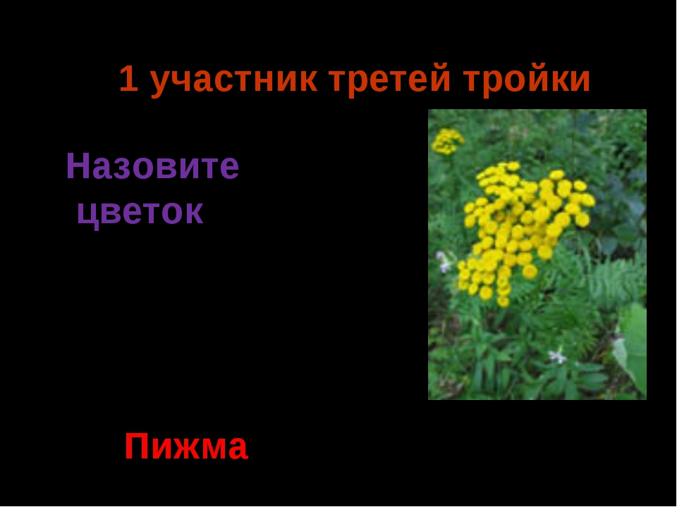1 участник третей тройки Пижма Назовите цветок Ермия 2014