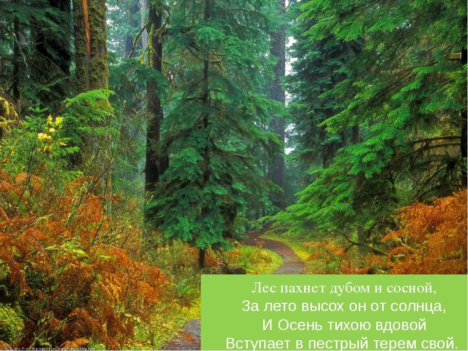 Лес пахнет дубом и сосной, За лето высох он от солнца, И Осень тихою вдовой...