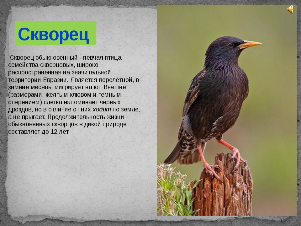Скворец обыкновенный - певчая птица семействаскворцовых, широко распростран...