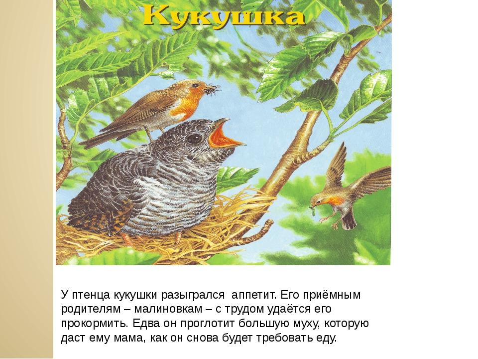 У птенца кукушки разыгрался аппетит. Его приёмным родителям – малиновкам – с...