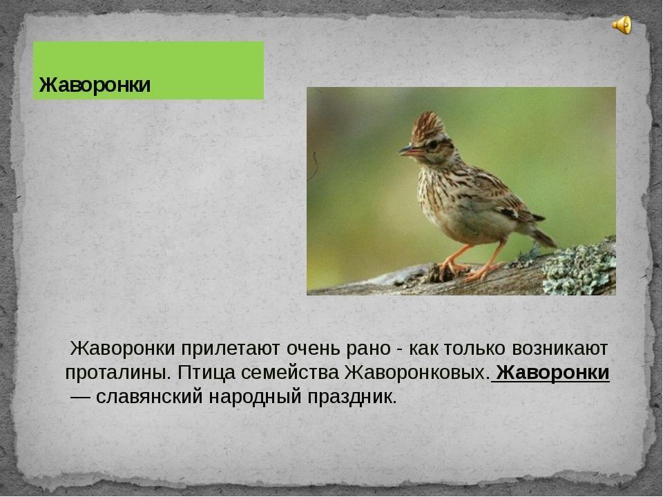 Жаворонки прилетают очень рано - как только возникают проталины. Птица семей...