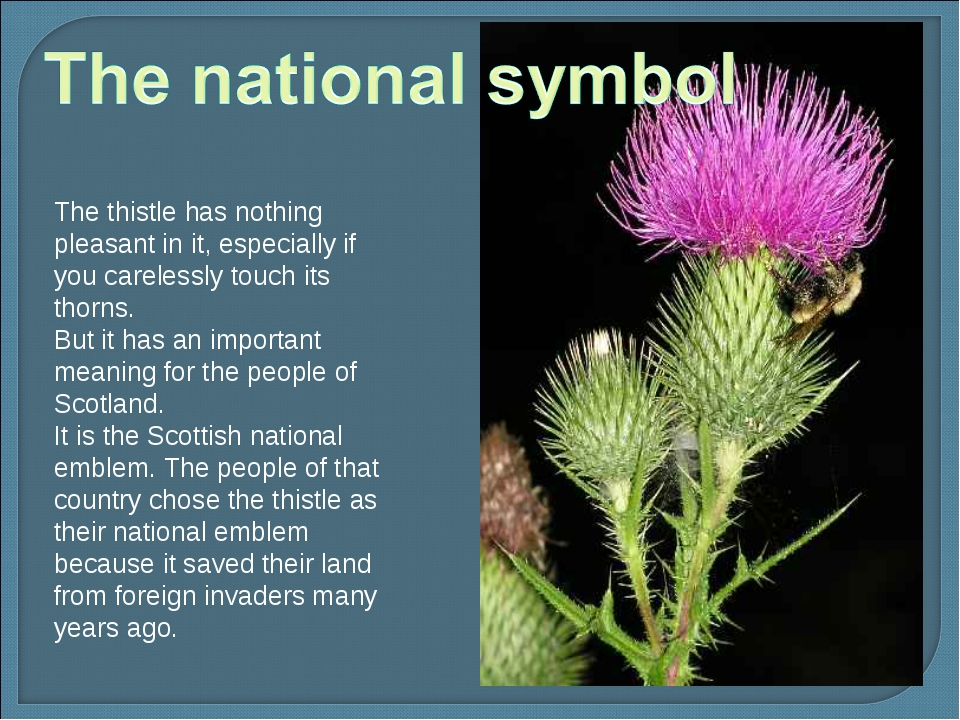 The thistle has nothing pleasant in it, especially if you carelessly touch it...