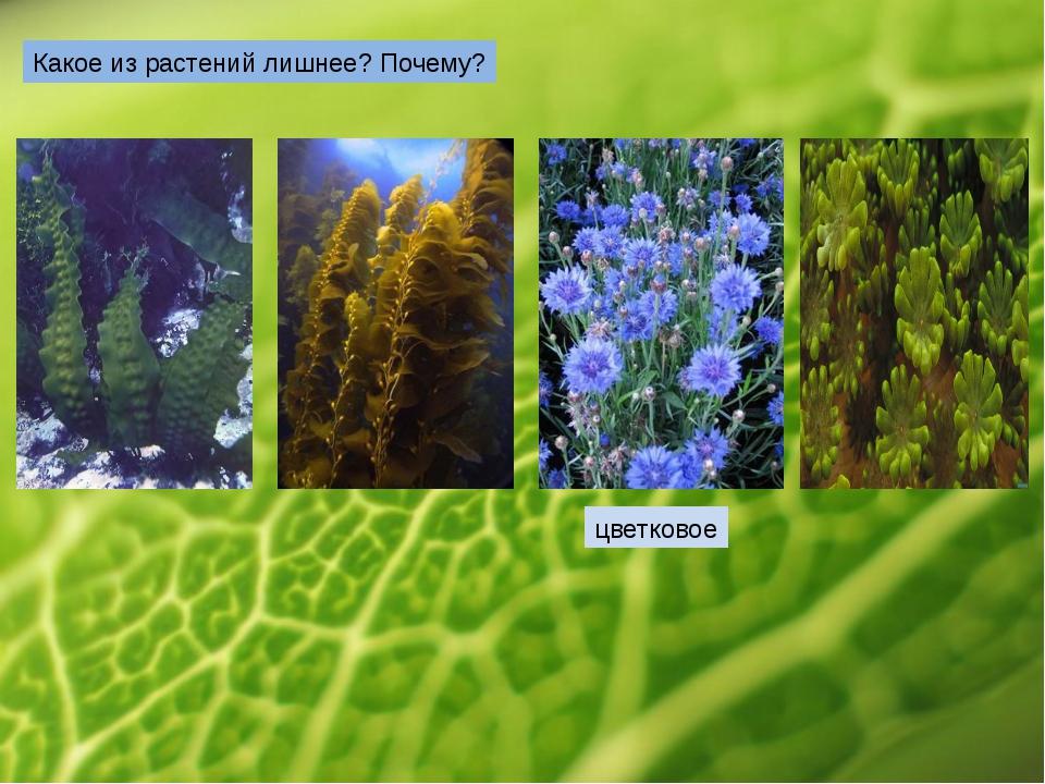 Какое из растений лишнее? Почему? цветковое
