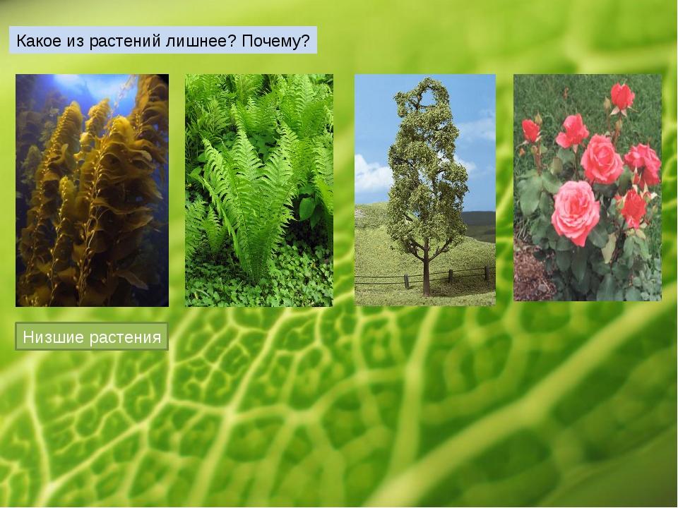 Какое из растений лишнее? Почему? Низшие растения