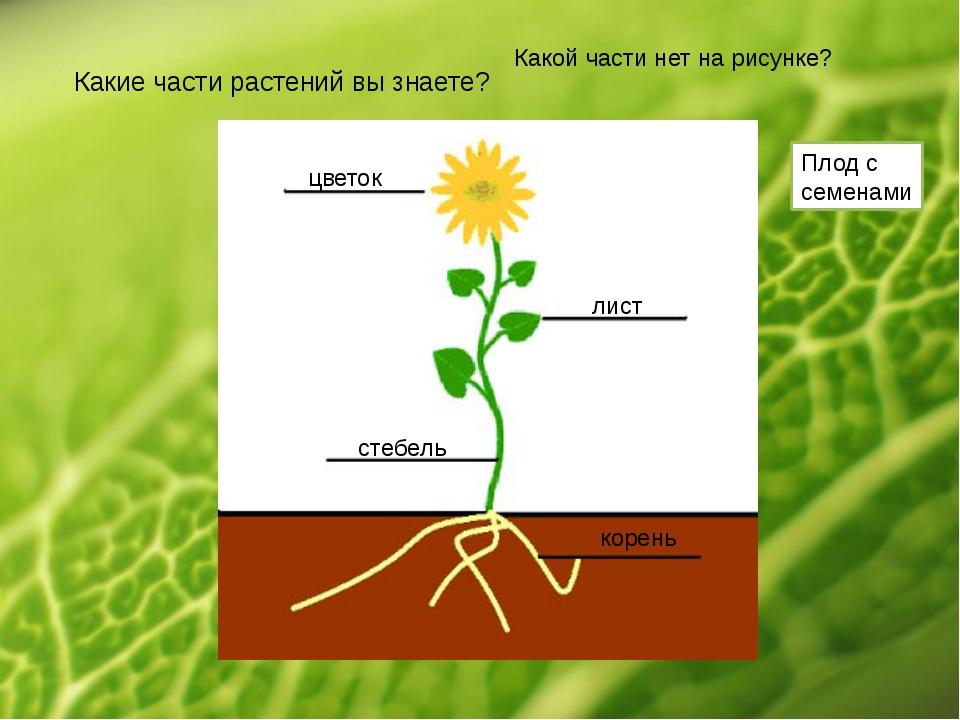 Какие части растений вы знаете? цветок стебель лист корень Какой части нет на...