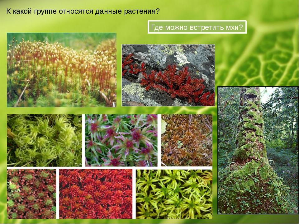 К какой группе относятся данные растения? Где можно встретить мхи?