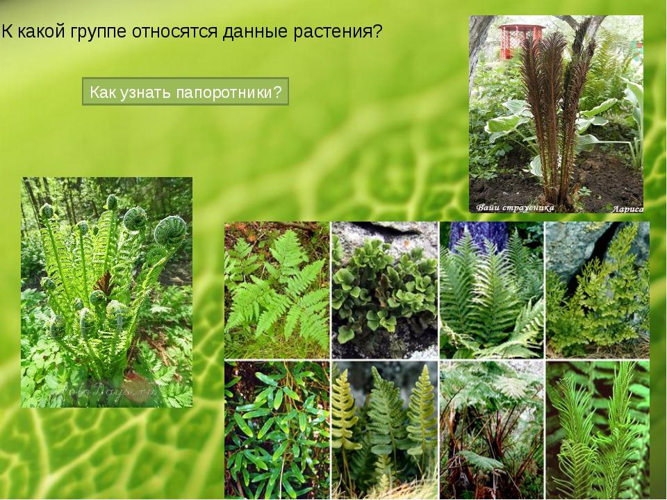 К какой группе относятся данные растения? Как узнать папоротники?