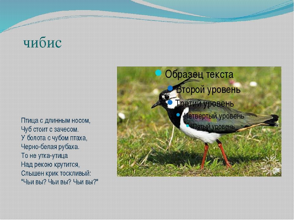 чибис Птица с длинным носом, Чуб стоит с зачесом. У болота с чубом птаха, Че...