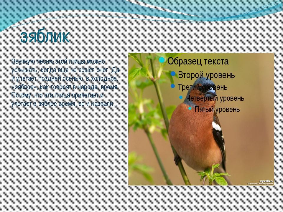 зяблик Звучную песню этой птицы можно услышать, когда еще не сошел снег. Да и...