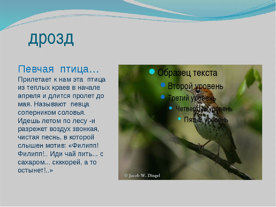 дрозд Певчая птица… Прилетает к нам эта птица из теплых краев в начале апреля...